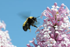 Bumble Bee. Close up of a flying bumble bee landing on a lilac bush with lots of pollen and a long tongue showing Stock Photography