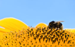 Bumble bee. Relaxing on a sunflower Stock Image