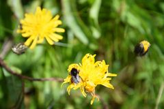 Bumble-bee Στοκ Φωτογραφία