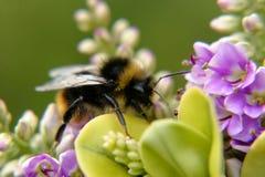 Bumble Bee. Collecting nectar to make honey Stock Photos