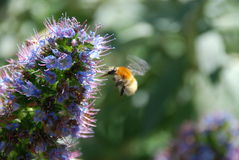 Bumble-bee Stock Images