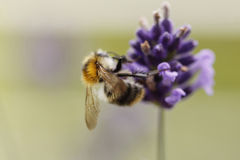 Free Bumble Bee Royalty Free Stock Images - 14555789