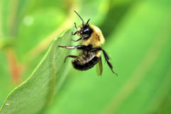 Bumble Bee. A bumble bee perched on a plant leaf Royalty Free Stock Photos