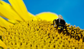 Bumble bee. Relaxing on a sunflower Royalty Free Stock Photos