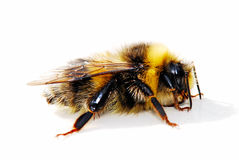 Bumble bee. Isolated on white background Stock Photography