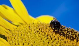 Bumble bee. Relaxing on a sunflower Stock Photos