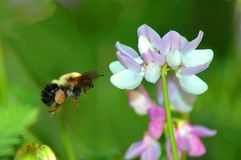 Bumble bee. Hovering beside a flower Royalty Free Stock Images