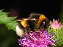Bumble-bee. Sitting on the flower Royalty Free Stock Images