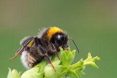Bumble bee. Bumble-bee sitting on green leaf Stock Images