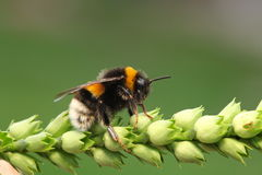 Bumble-bee Stock Image
