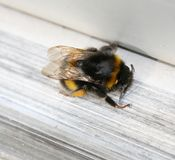Bumble bee. A bumble bee resting in the summer sun Stock Images