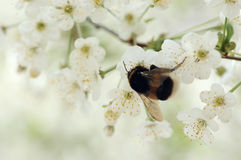 Bumble-bee. On white cherry blossoms, blurry background, with space for text Stock Photo