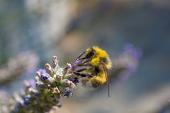 Bumble bee. On a lavanda purple flower - shallow depth of field Royalty Free Stock Photography
