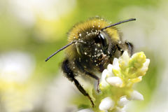 Bumble-bee Στοκ Εικόνα
