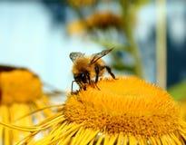Bumble-bee. Summer, garden royalty free stock photos