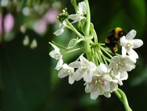 Bumble bee. Feasting Stock Images