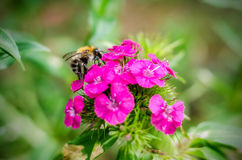 Bumble-bee Στοκ Φωτογραφίες