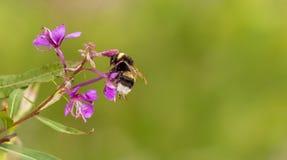 Bumble-bee στοκ εικόνες