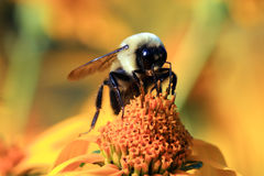 Bumble bee. Feeding in summer in park on yellow sunflower Stock Photos