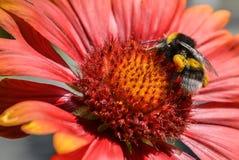 Bumble-bee Στοκ εικόνες με δικαίωμα ελεύθερης χρήσης