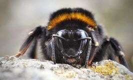 Bumble bee Stock Photo
