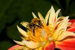 Bumble bee. On a dahlia Royalty Free Stock Photos