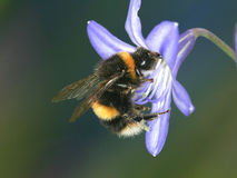 Bumble Bee. Close up of a Bumble Bee collecting pollen Stock Photo