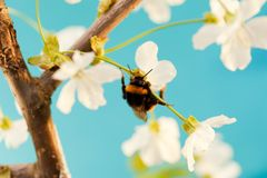 Bumble bee. On a flower Royalty Free Stock Photography
