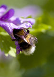 Bumble bee Royalty Free Stock Image