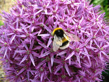 Bumble Bee on Allium. Photograph of a bumble bee on an allium flower Royalty Free Stock Image