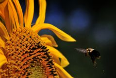 Bumble Bee aproaching Sunflower. Common Eastern Bumble Bee flying toward a Sunflower dropping pollen Royalty Free Stock Photo