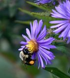 Bumble Bee on Aster Flowers. This is a Fall picture of a Bumble Bee on Aster Flowers in the Montrose Point Bird Sanctuary located in Chicago, Illinois in Cook royalty free stock images
