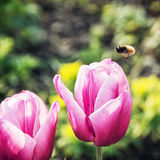 Bumble-bee and beautiful pink tulips Royalty Free Stock Photos
