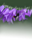 Bumble bee and bell flower. Small violet flowers on the stem. Green white gradient background. Shallow depth of field Stock Photography