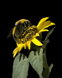 Bumble Bee on Black. Bumble bee covered in pollen feeding on a yellow sunflower against a black background Royalty Free Stock Photography