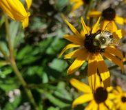Bumble Bee on Black-Eyed Susan with foliage. Focus on Bumble bee on bright yellow Black-eyed Susan flowers in sunshine, mid right side with leaves and other Stock Image