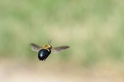 Bumble Bee. Black & Yellow Bumble Bee in Flight Royalty Free Stock Image