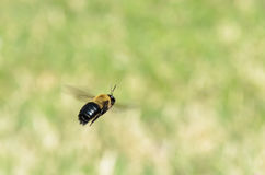 Bumble Bee. Black & Yellow Bumble Bee in Flight Royalty Free Stock Images