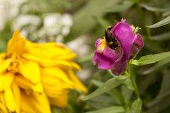 Bumble bee. Black yellow bumble bee on the purple flower Stock Photo