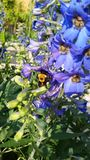 Bumble Bee. This is a black and yellow bee on some blue flowers Royalty Free Stock Photo