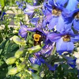 Bumble Bee. This is a black and yellow bee on some blue flowers royalty free stock image