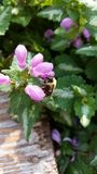 Bumble Bee. This is a black and yellow bee on some purple flowers Royalty Free Stock Photos