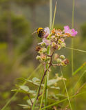 A Bumble Bee on a Blackberry flower. As the Bumble Bee (Bombus) feeds on the nectar of the Blackberry bush flower (Rubus), it also pollinates the plant, the royalty free stock photography