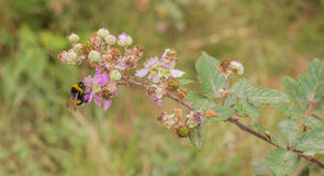 A Bumble Bee on a Blackberry flower. As the Bumble Bee (Bombus) feeds on the nectar of the Blackberry bush flower (Rubus), it also pollinates the plant, the royalty free stock photo