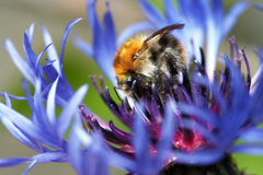 Bumble bee in bloom Stock Photography