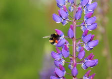 Bumble bee in blue Lupine collecting nectar Royalty Free Stock Images