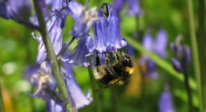 Bumble Bee on a Bluebell Royalty Free Stock Photos