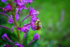 Bumble bee Bombus huntii, Hymenoptera, Apidae, Bombinae collecting pollen and nectar from wild flowers along hiking trails to Do. Ughnut Falls in Big Cottonwood royalty free stock image