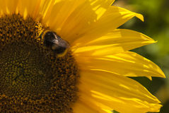 Bumble Bee. A Bumble bee, Bombus, on a Sunflower Head, Helianthus annuus Stock Photo