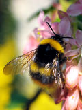 Bumble-Bee (Bombus terrestris). Bombus terrestris, the Buff-tailed Bumblebee or Large Earth Bumblebee is one of the most numerous bumblebee  species  in Europe Stock Photography